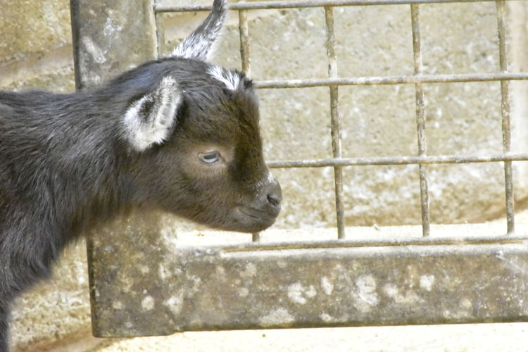 baby goat One Animal Mammal Close-up Nature No People