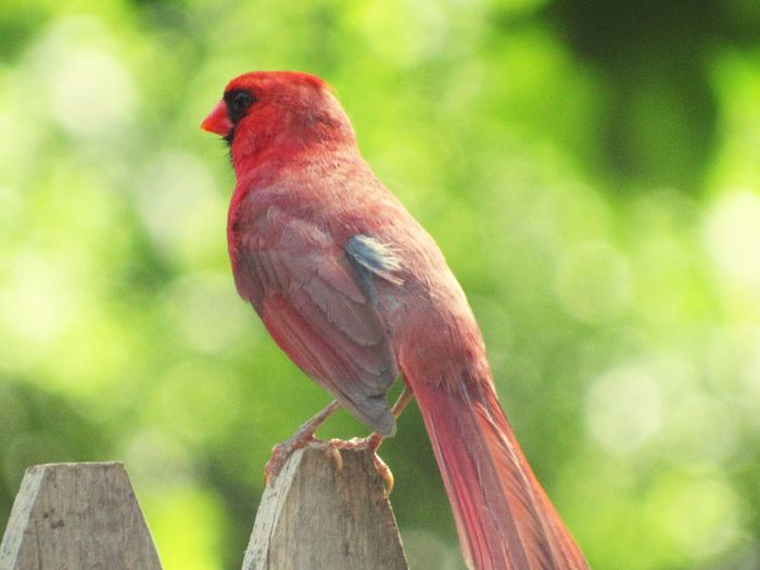 Bird Bird Photography One Animal Perched Perching Perching Bird Perched Bird Red Red Color Red Colour Perched On A Fence Facing Away Cardinal Cardinal - Bird Cardinal Bird