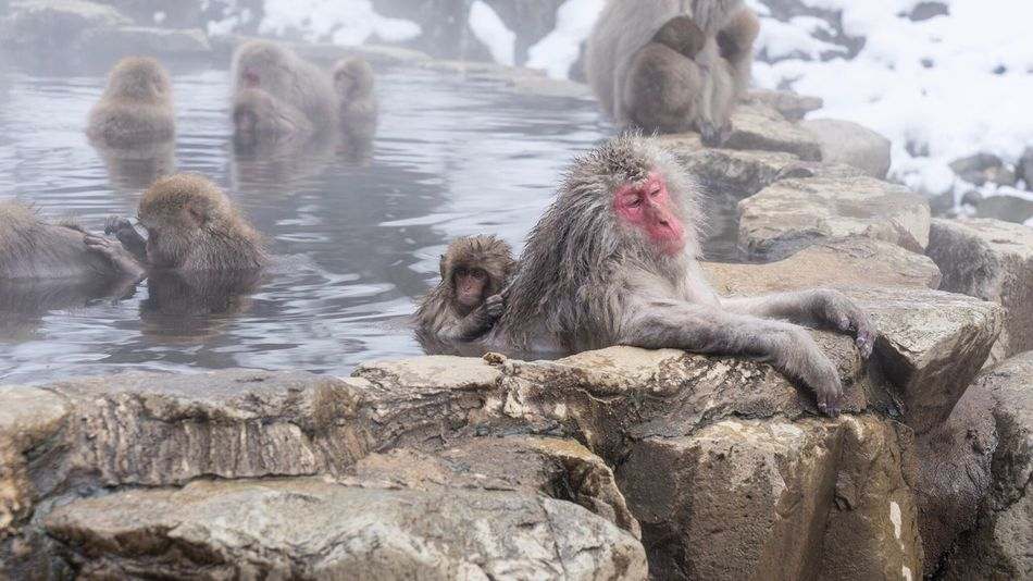 Animals In The Wild Animal Themes Rock - Object Nature Cold Temperature Water Animal Wildlife Winter Day Outdoors No People Snow Mammal Lake Close-up Snowmonkeys Hot Spring 地獄谷野猿公苑 at Jigokudani-Snow-Monkey-Park in Nagano Prefecture,Japan Travel Destinations Japanese Macaque Leisure Activity Geology Relaxation EyeEmNewHere Adapted To The City