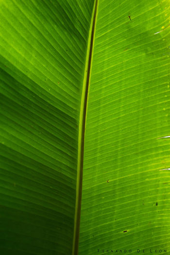 Plantain Leave. Nature Photography Leaves Leave Green Tree Tropical Plantain Tropical Plants