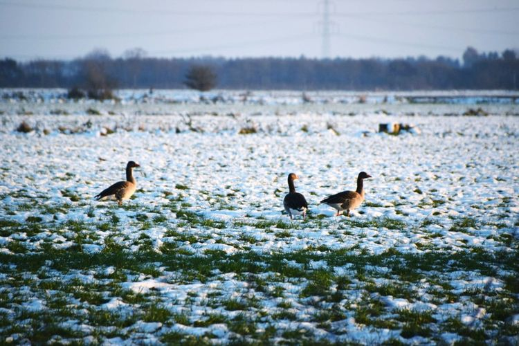 Wide angle of gooses on snow covered landscape