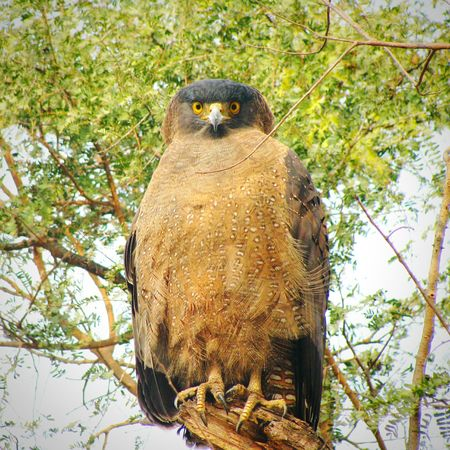 Tree Branch Nature Animal Wildlife Low Angle View Animals In The Wild Perching Outdoors Bird Of Prey Bird Beauty In Nature Animal Themes Serpent Eagle Focus Piercing Eyes Gaze