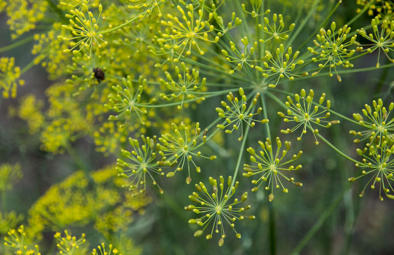 Dill (Fennel) flowers on green background Backgrounds Beauty In Nature Botany Branch Close-up Dill Fennel Floral Focus On Foreground Green Green Color Growing Growth Herbal Inflorescence Leaf Lush Foliage Nature Outdoors Plant Scenics Seeds Selective Focus Spice Tranquility