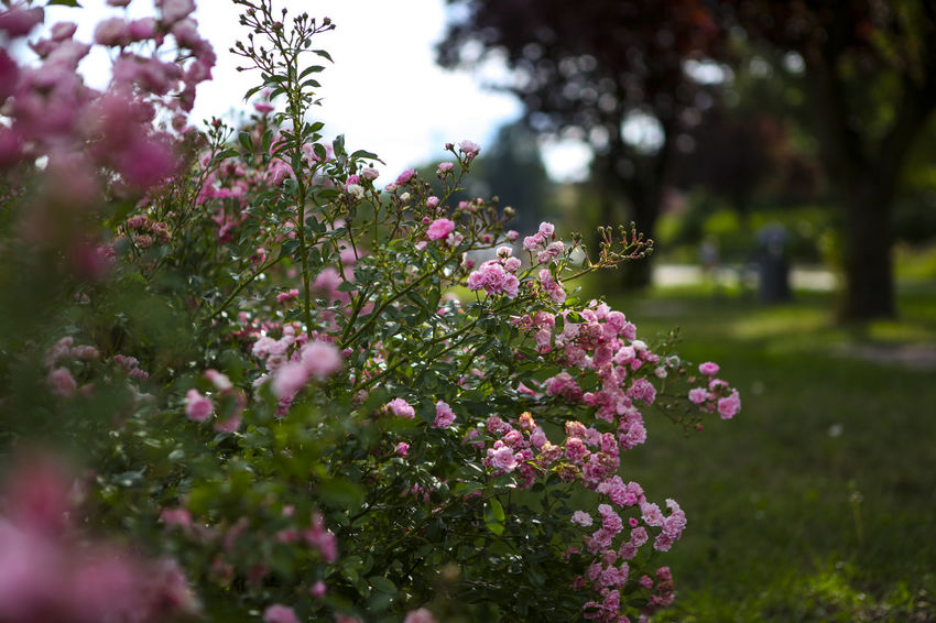 Beauty In Nature Blooming Blossom Botany Cherry Tree Close-up Day Flower Flower Head Focus On Foreground Fragility Freshness Green Color Growth In Bloom Nature No People Outdoors Petal Pink Color Plant Purple Selective Focus Tranquility Tree