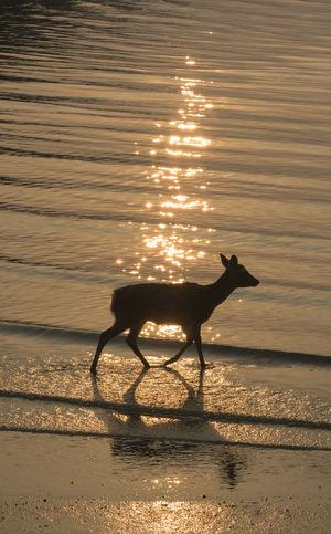 Animal Animal Themes Animal Wildlife Beach Beauty In Nature Domestic Animals Herbivorous Land Mammal Nature No People One Animal Outdoors Pets Reflection Silhouette Sky Sunlight Sunset Vertebrate Water