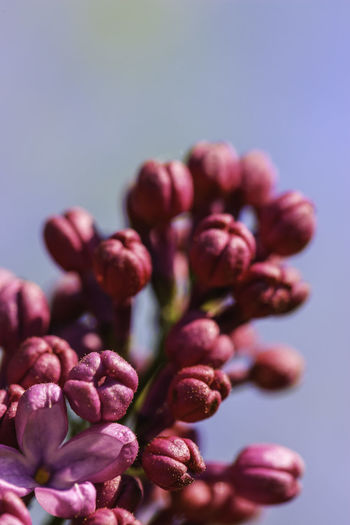 Close-up of pink flowering plant over white background