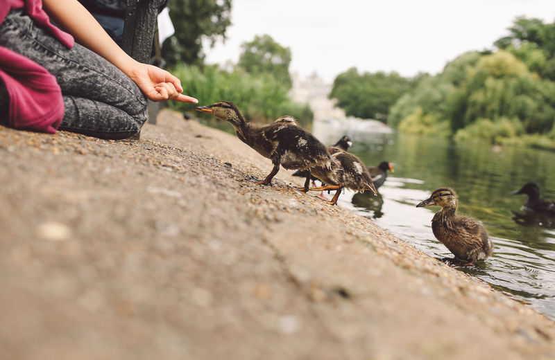 Midsection of woman feeding young birds by lake