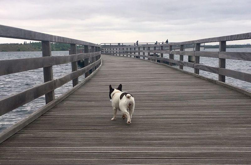 Dog walking on pier