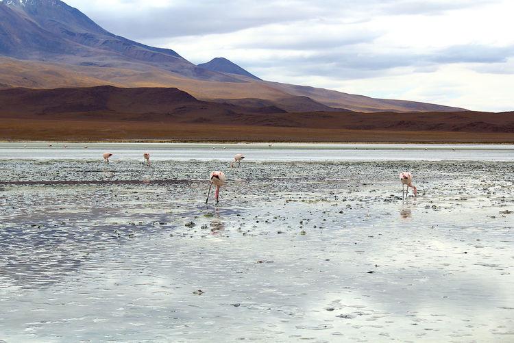 Panoramic view of lagoon laguna de canapa with flamingo at uyuni in bolivia,south america