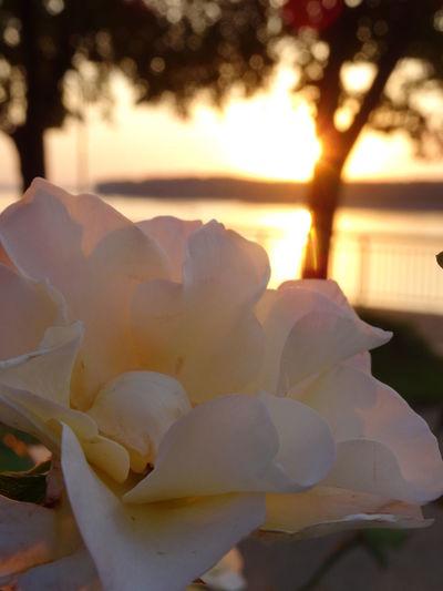 A rose at