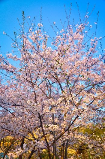 Spring Time 🌻 Spring Flowers Cherry Blossoms Blue Sky Blossom Flower Collection EyeEm Colorful! Flowers,Plants & Garden Outdoors