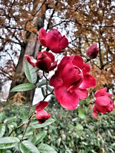Roses In Autumn Fall Beauty Tree Flower Growth Nature Beauty In Nature Red Day Low Angle View No People Branch Petal Outdoors Focus On Foreground Plant Close-up Freshness Springtime Blooming Fragility Flower Head