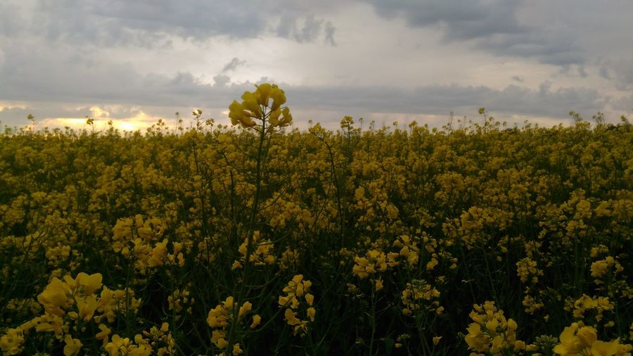 Colza Jaune🌻 Flower Head Tree Flower Sunset Dawn Multi Colored Rural Scene Beauty Yellow Agriculture