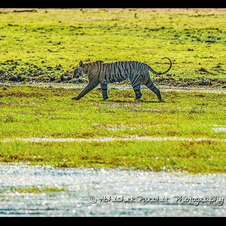 Lunchtime Randomness Photographie  Rajasthan Ranthambore Tiger Savethetiger MyClick Travel Concept Indian India Wildlifephotography