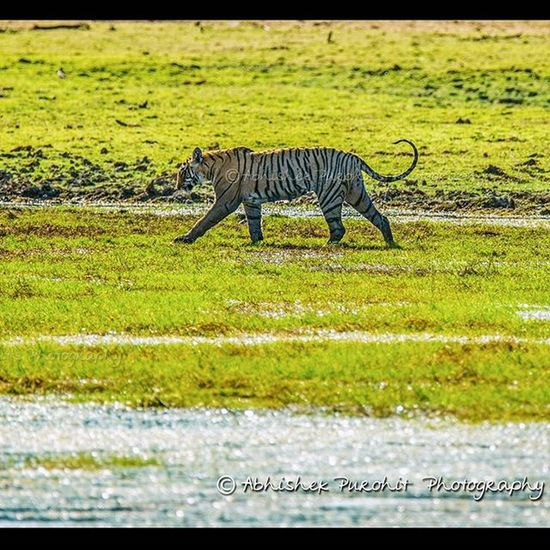 Lunchtime Randomness Photographie  Rajasthan Ranthambore Tiger Savethetiger MyClick Travel Concept Indian India Wildlifephotography
