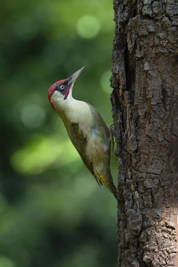 Nature_collection Birdwatching Wildlife & Nature Wildlife Green Color Italy Bird Photography Nikon Nikonphotography Woodpeckers Green Color Forest Photography Picchio Verde Tree Tree Perching Tree Trunk Branch Lizard Close-up Animal Scale Camouflage