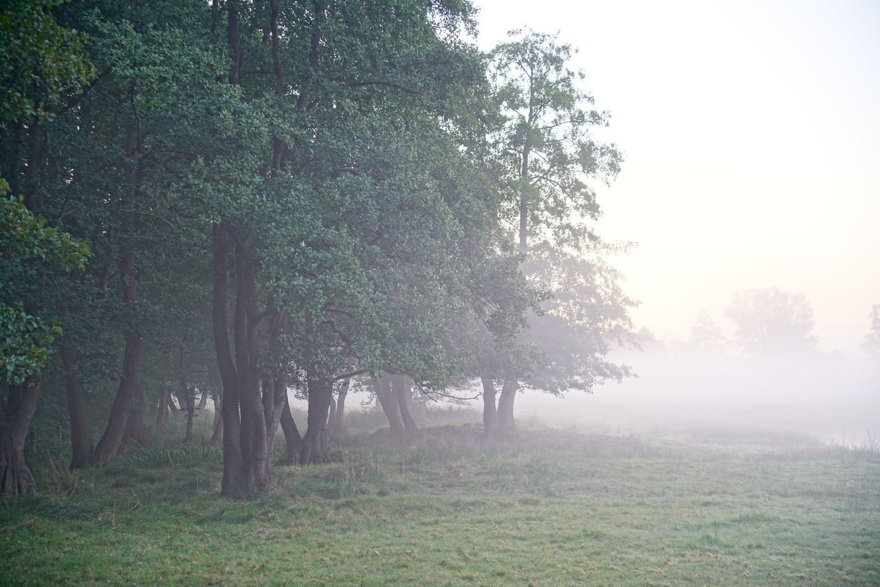 TREES ON LANDSCAPE WITH FOG