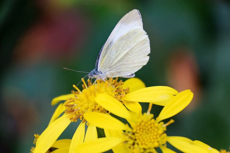 [Butterfly Feeding on Flower Nectar] Flower Yellow Insect Beauty In Nature Close-up Butterfly Springtime Butterfly - Insect Pollination Nature Freshness First Eyeem Photo