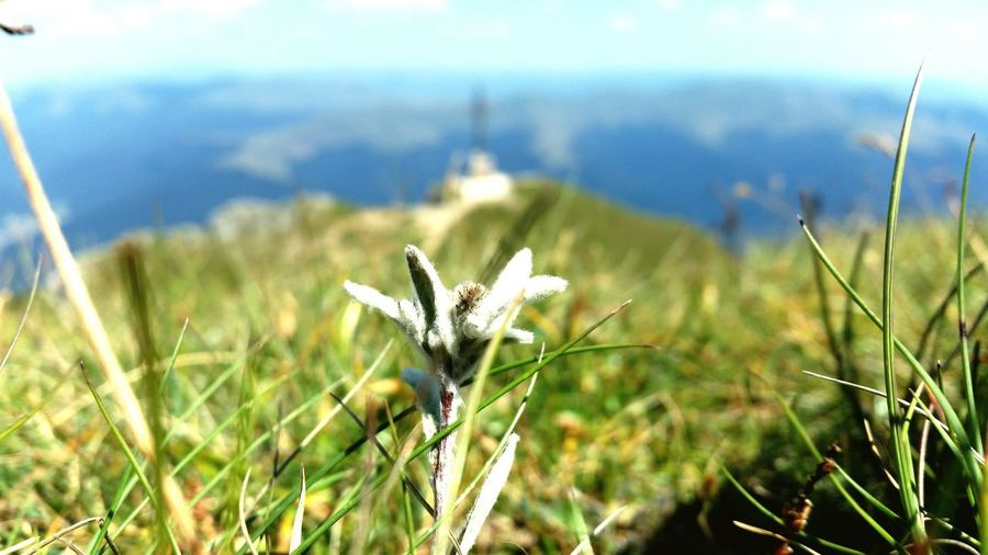 Edelweiss Bucegimountains Heroes' Cross On Caraiman Peak