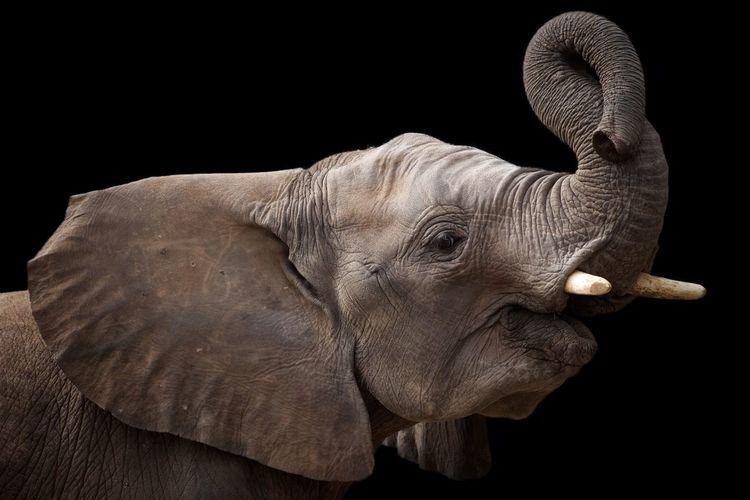 EyeEm Selects Black Background One Animal Elephant Animal Body Part Studio Shot Animal Wildlife Side View Rhinoceros Animal Trunk Tusk No People Animal Themes Mammal African Elephant Close-up Outdoors Day