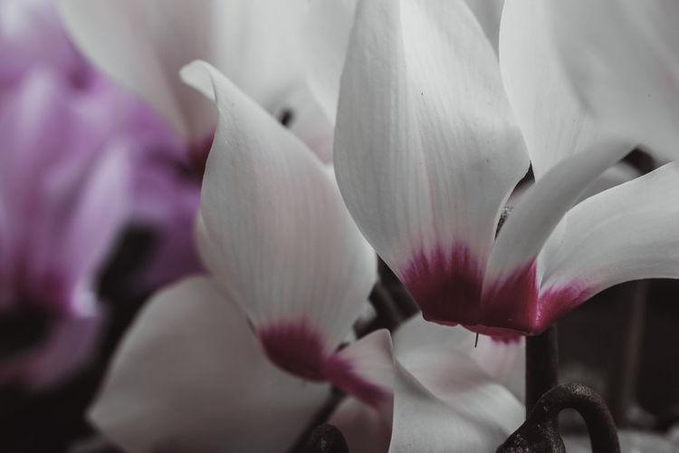 Fujifilm X-M1 mit Cosina Cosinon - W 24mm 2.8 und KenkoExtensionTubes.... unterwegs mit Fahrrad und Kamera. Alpenveilchen Colors_of_day Shotwithlove Outdoor_photograhy Fujifilmglobal Dofnature Jacquelineschreiber Fujifilmdeutschland Fujifilmxm1 Cosina_cosinon-w_24mm KenkoExtensionTubes Flower Flower Head Pink Color Close-up Fragility Petal In Bloom Blooming
