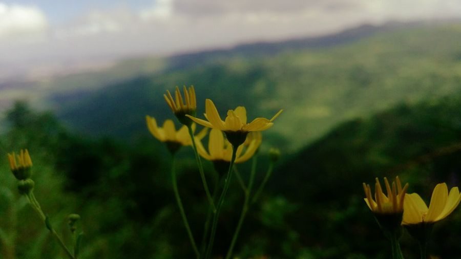 Flower Growth Yellow Focus On Foreground Beauty In Nature Close-up