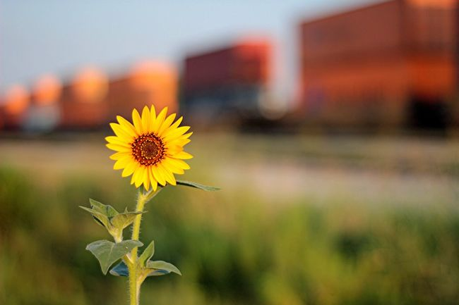 Flower Yellow Fragility Nature Petal Plant Focus On Foreground Beauty In Nature Flower Head Growth No People Outdoors Close-up Sunflower Freshness Blooming Day Sky bokeh Train nifty fifty 50mm