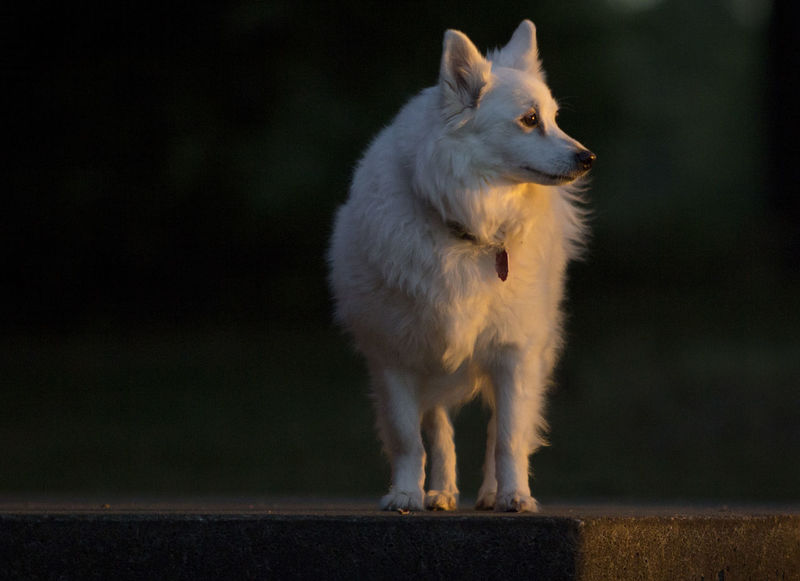 An American Eskimo white dog looks toward the evening sunset in golden light. American Eskimo Proud Animal Themes Close-up Day Dog Domestic Animals German Spitz Golden Light Mammal Nature No People One Animal Outdoors Pets Sitting Sunset White