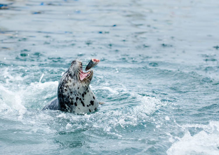 Seal Catching Dead Fish While Swimming In Sea