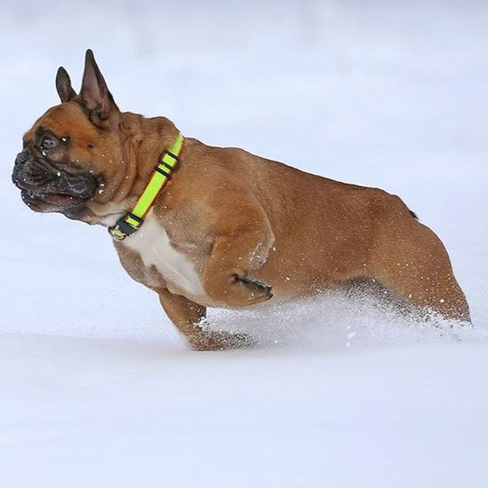 Frenchzone Gonzothunder Frenchzoneonly Frenchielove Crazyfrenchielovers Frenchbulldog Frenchbulldogs Frenchie Frenchies Canon 50mm Doggie Dogs Dogsareawesome Gtcompany Gtcreate Canon Canon6d Tatry Tatrymountains Mountains Snow Winter