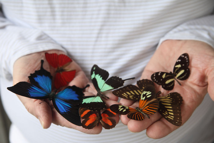 Animals Assortment Beauty In Nature Butterflies Close-up Collection Entomology Exotic Fingers Grouping Hands Holding Insects  Lepidoptera Man Many Multi Colored Nature Swallowtails Textures Unrecognizable Person Wings