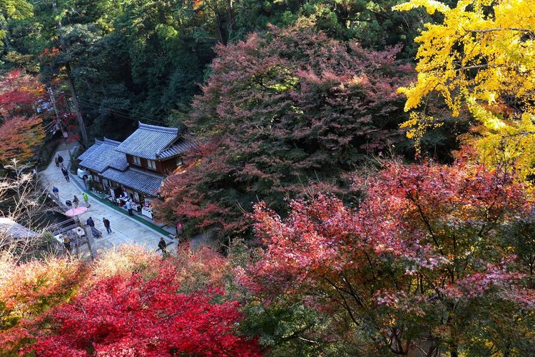 Outdoors Beauty In Nature Tree 圓教寺 Autumn Maple Tree