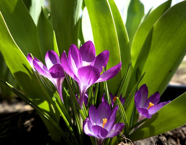 Art Photography Beauty In Nature Blooming Close-up Contrast Colors Crocus Day Easter Flowers First Flowers Of Spring Flower Flower Head Fragility Freshness Growth Nature No People Orange Pistil Outdoors Petal Plant Purple And Green Purple And White Spring Flowers Sunny Day