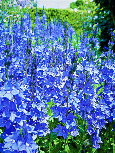 Beauty In Nature Blooming Blossom Blue Blue Flowers Blueflower Close-up Day EyeEm Nature Lover Flower Fragility Freshness Green Green Color Growth Nature No People Outdoors Plant Purple Scented Springtime