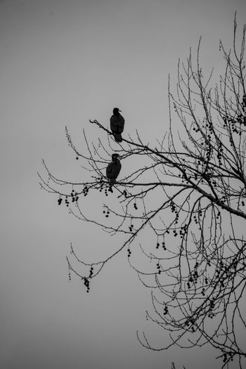 Tree Sky Bird Animals In The Wild Branch Vertebrate Animal Animal Wildlife Animal Themes Plant Perching Bare Tree One Animal Nature Low Angle View No People Silhouette Day Clear Sky Outdoors Eagle