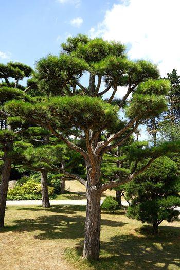 Pune Tree Pine