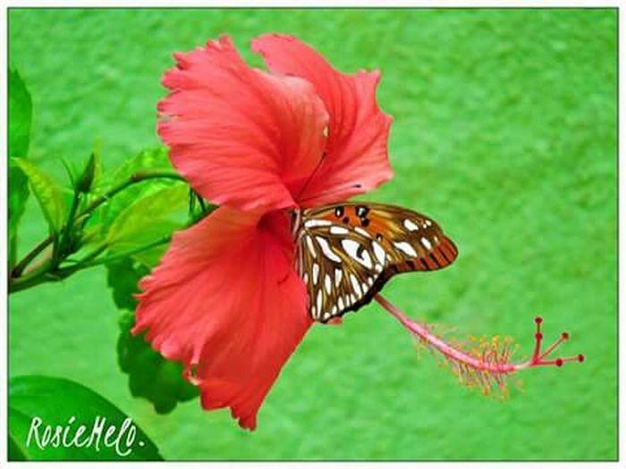 Borboletas+Hibisco💖💖 EyeEm Nature Lover Nature_collection Natureza 🐦🌳 Borboletas BorboletaÉFlor LoveFlowers🌸 Hibiscus 🌺 Amoflores Papillon Butterfly