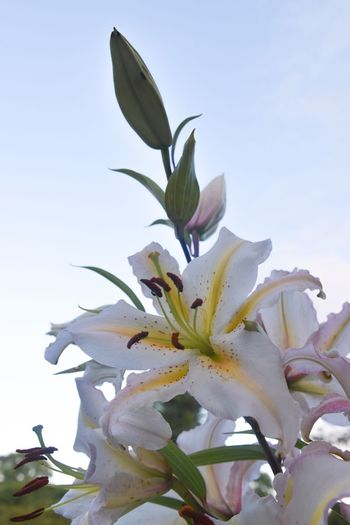 Close-up of white day lily blooming against clear sky