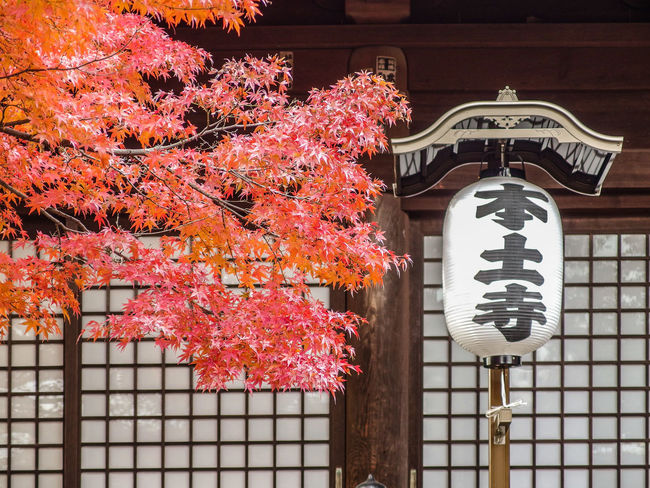 japanese autumn season maple leaves view at temple. Autumn No People Architecture Day Built Structure Nature Tree Plant Building Exterior Building Outdoors Change Communication Low Angle View Lighting Equipment Orange Color Branch Lantern Cherry Blossom Temple Door Retro Style Tourism Culture