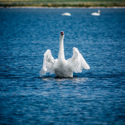 Animal Themes Animals In The Wild Bird Blue Nature Selective Focus Swan Swans Tranquility Water Waterfront Wildlife