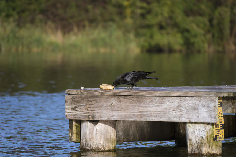 Crow Perhing On Jetty