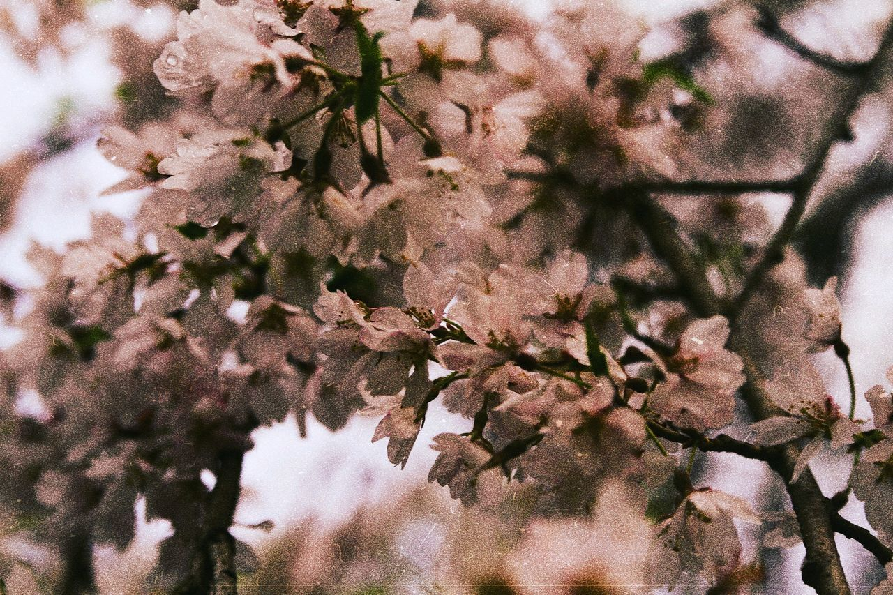 plant, flower, flowering plant, growth, fragility, beauty in nature, tree, vulnerability, freshness, no people, blossom, springtime, branch, close-up, nature, day, selective focus, outdoors, cherry blossom, full frame, cherry tree, flower head, spring