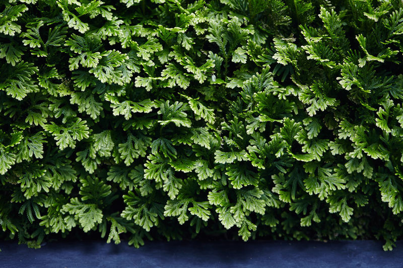 Selaginella : Spike moss Spike Moss Beauty In Nature Close-up Foliage Green Color Leaf Nature Outdoors Plant