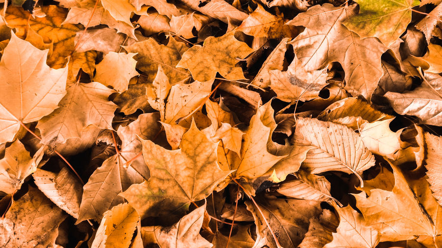 Close-up of maple leaves on field