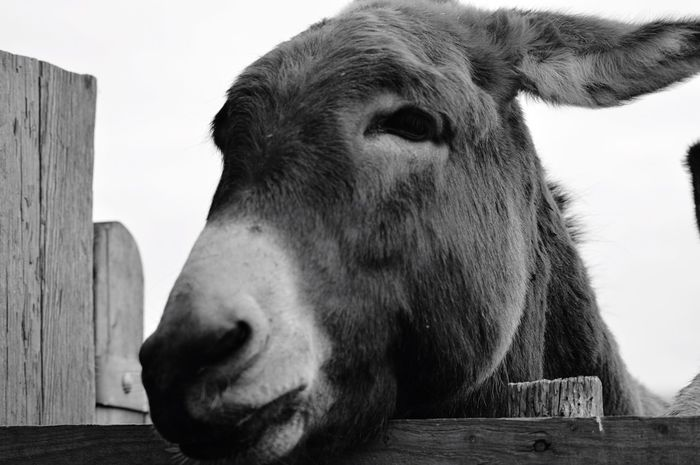Domestic Animals Animal Themes One Animal Mammal Outdoors Day Livestock No People Wood - Material Close-up Nature Pets Sky Farm Animal Close Up Lincolnshire Black And White Friday