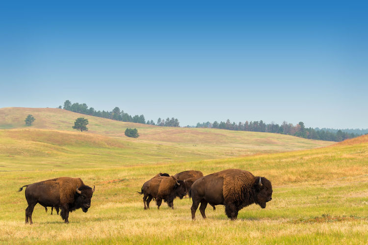 Bisons grazing on landscape against clear sky