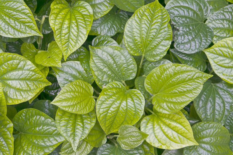 Green leaves of piper betle or betel is herb plant as background. Creeper Decor Abstract Backdrop Background Betel Botany Branch Close-up Digestive Flora Foliage Food Forest Garden Jungle Leaf Nature Piper BetleLinn. Plant Spring Stem Surface Texture Tropical
