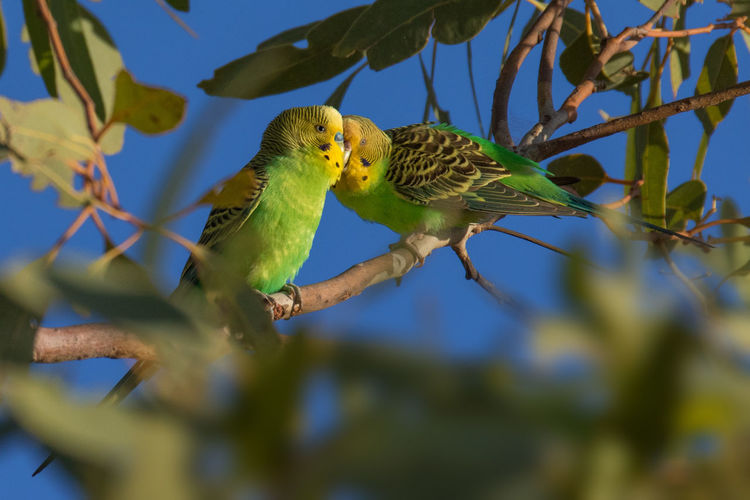 Wild budgerigars pair in tree courtship feeding Budgerigar Kimberley Australia Melopsittacus Undulatus Animal Themes Animal Wildlife Animals In The Wild Beauty In Nature Bird Courtship Feeding Day Green Color Nature No People Outdoors Wellensittich