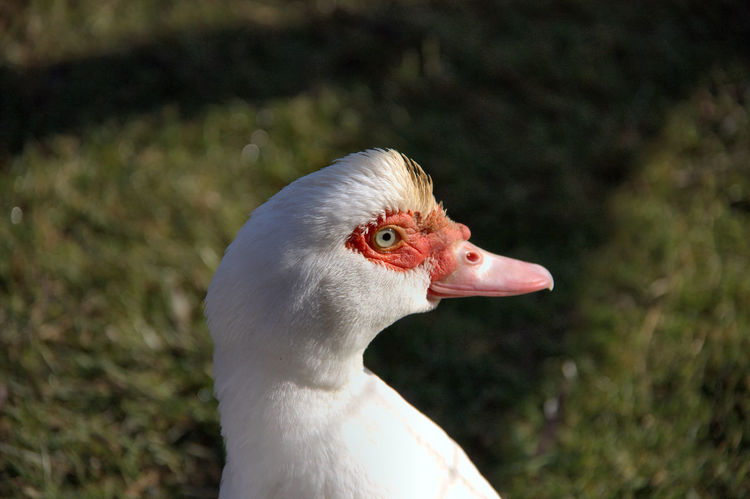 Donald al Parco Centenario Animal Body Part Animal Themes Animal Wildlife Animals In The Wild Beak Bird Close-up Day Duck EyeEm Nature Lover Focus On Foreground Greylag Goose No People One Animal Outdoors Portrait Right View White Duck Donald Duck Pet Portraits