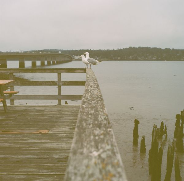A pair of seagulls at the edge of the docks on a cloudy day in Maine. Animal Themes Animals In The Wild Bird Built Structure Cloudy Copy Space Day Nature Outdoors Pier Seagull Sky Tranquil Scene Tranquility Water Water Reflections Wildlife Wood Wood - Material Wooden